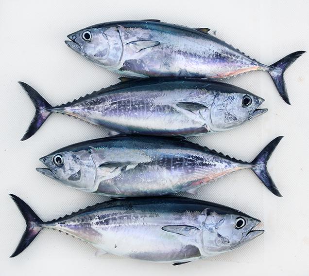 Mar Do Suído Il Pesce Azzurro Un Amico Della Nostra Salute